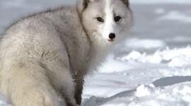Arctic Fox pic