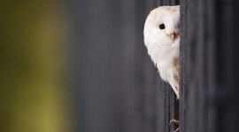White Owl for smartphone