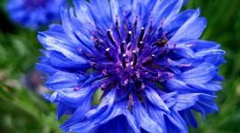 Blue Flowers Pics