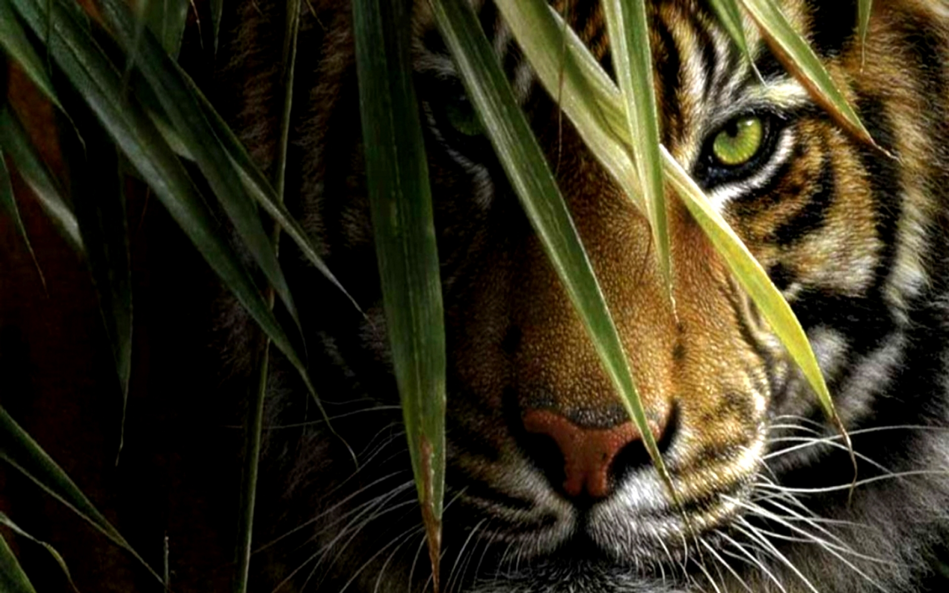 Tiger Wallpapers High Quality Download Free