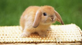 Bunny for smartphone