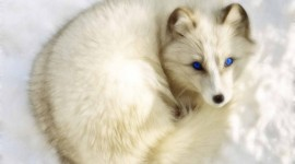 Arctic Fox free