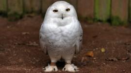 White Owl background