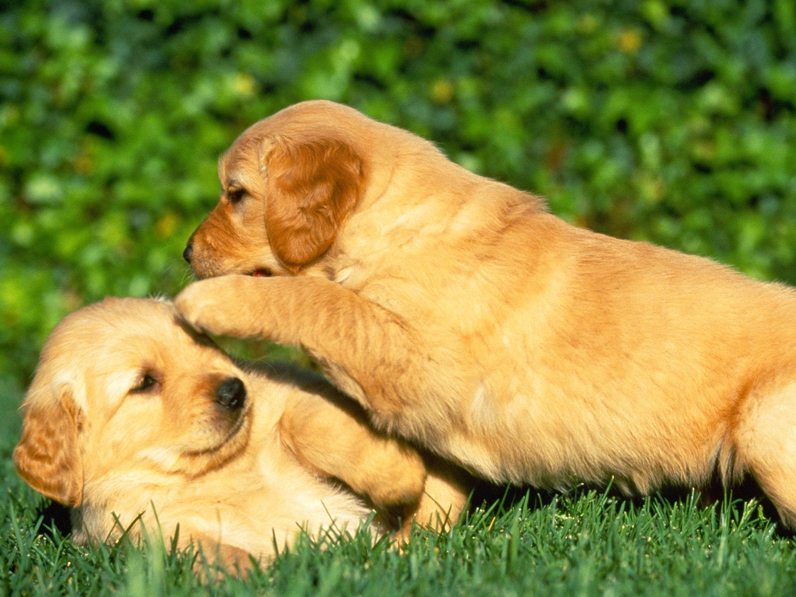 Puppies Wallpapers High Quality Download Free