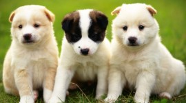 Puppies Full HD