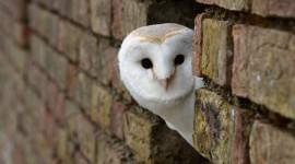 White Owl pic