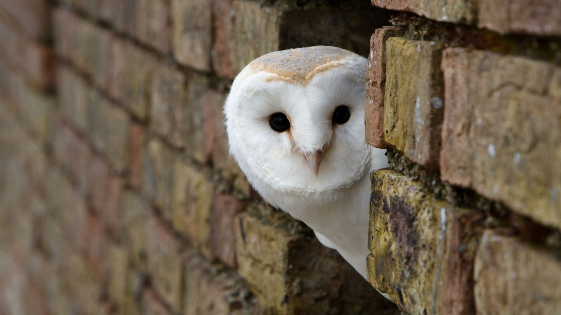 white owl wallpapers high quality download free