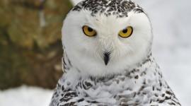White Owl HD Wallpaper