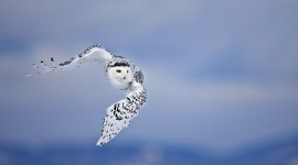 White Owl 4K