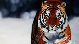 Tiger 1080p