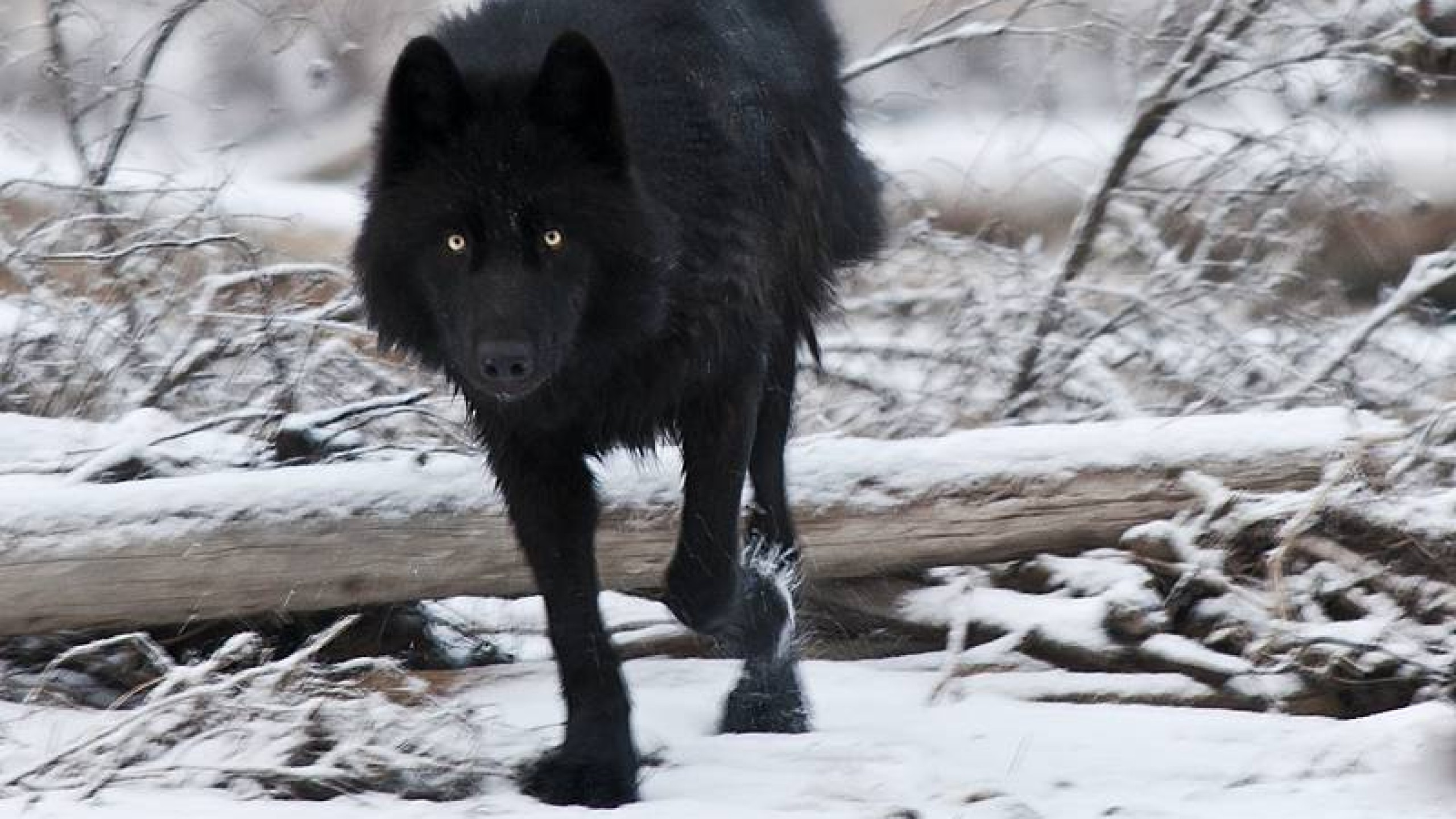 black wolf computer wallpapers - photo #39