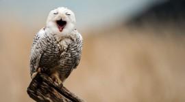 White Owl free