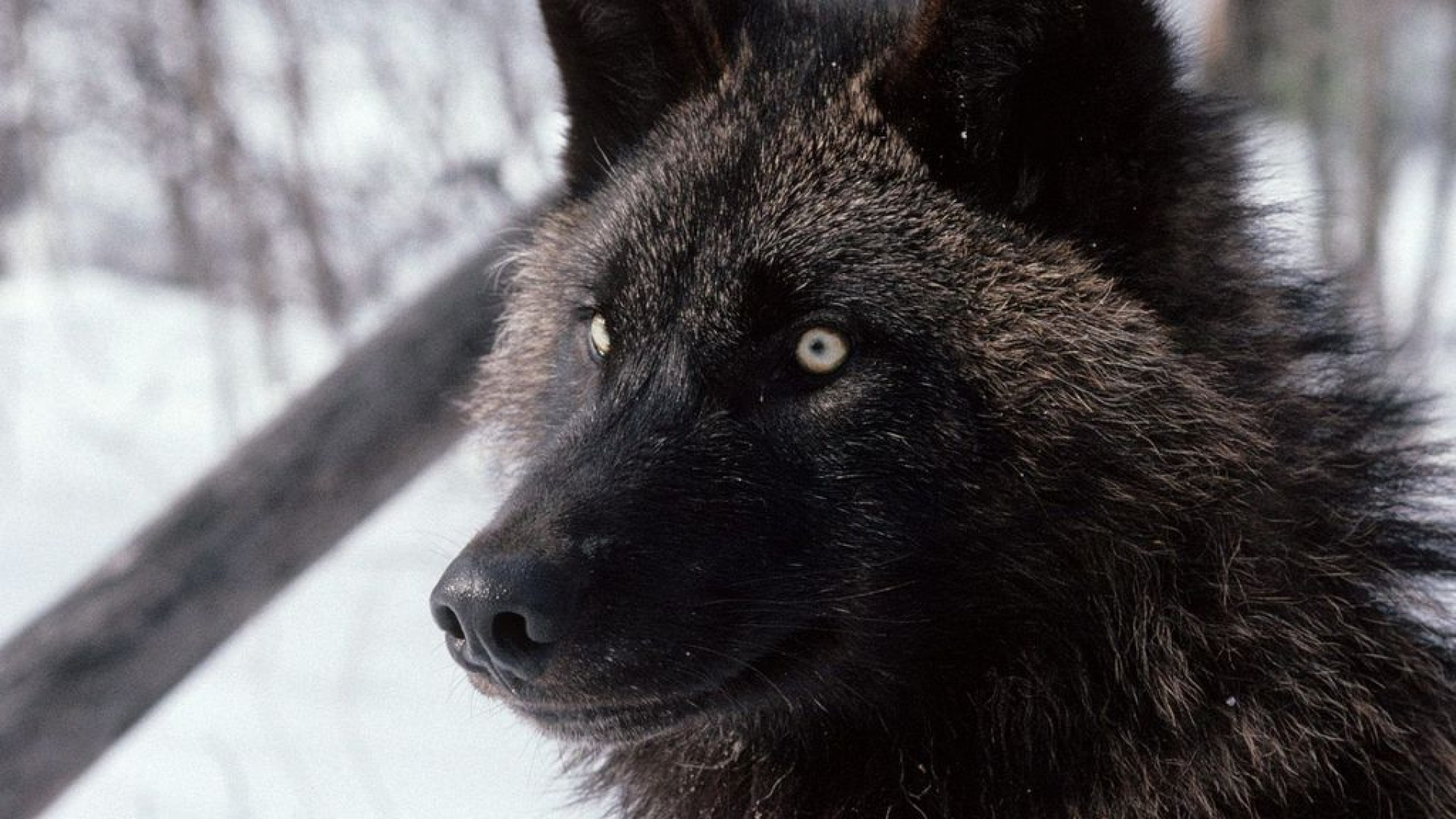 Black Wolf Wallpapers High Quality Download Free