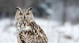 White Owl High resolution