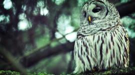 White Owl High Definition