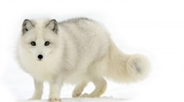 Arctic Fox High resolution