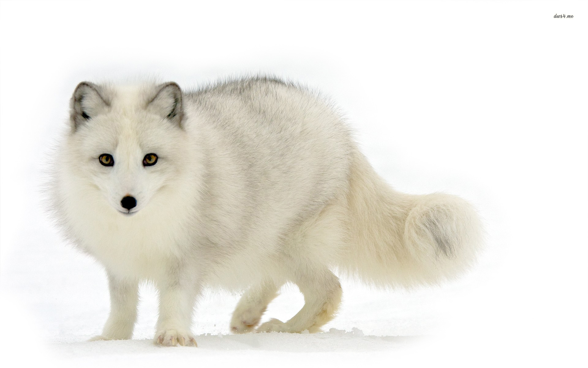 Arctic Fox Wallpapers High Quality