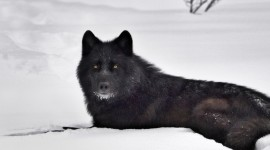 Black Wolf for smartphone