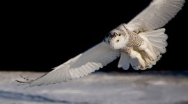 White Owl Iphone wallpapers