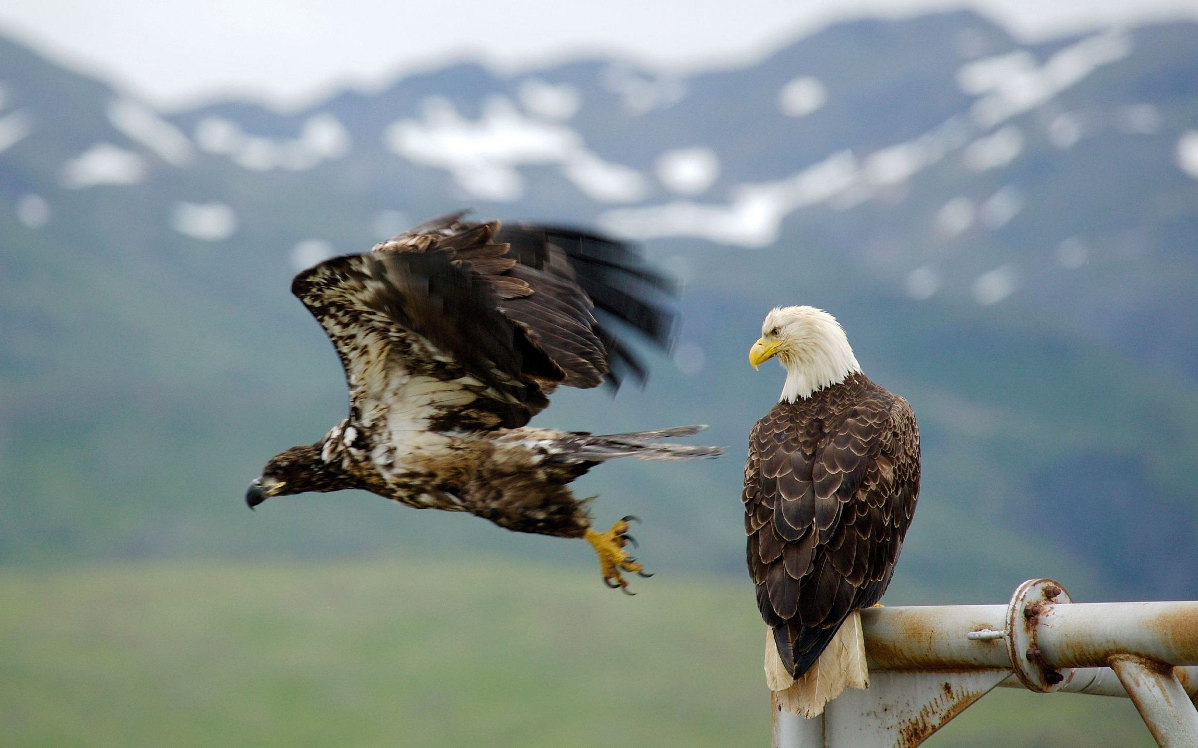 Falcon Wallpapers High Quality | Download Free Baby Eagle Bird