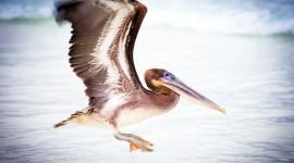 Pelican Pics