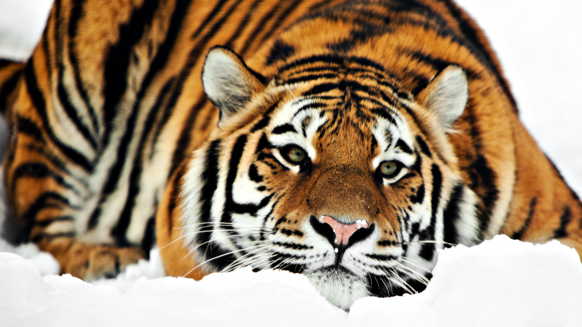 Wonderful Wallpaper High Resolution Tiger - 3057_tiger  Image_426047.jpg