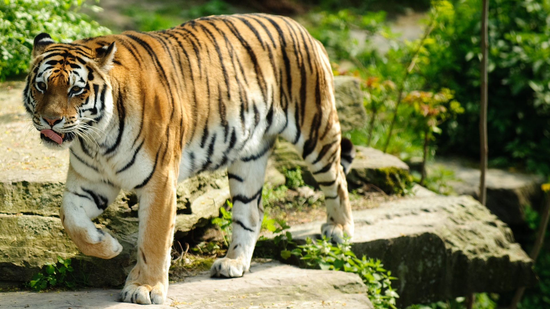 the background information of tigers