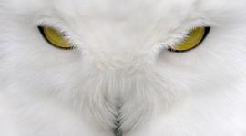 White Owl Wide wallpaper
