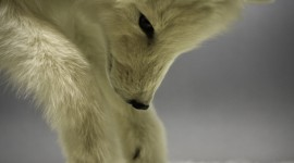 Arctic Fox Free download