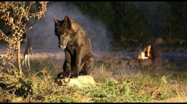 Black Wolf Wallpapers HQ