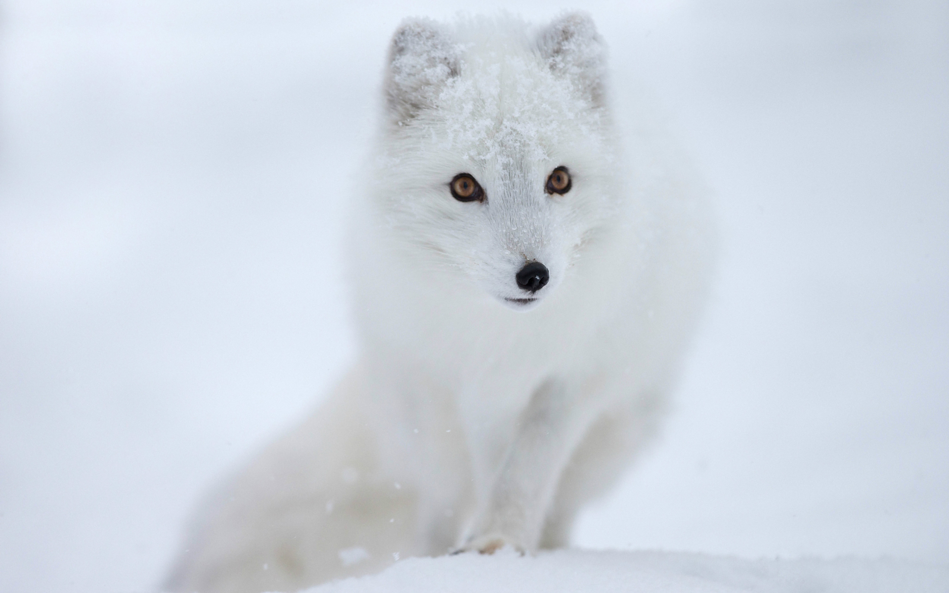 Arctic Fox Wallpapers High Quality Download Free