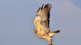 Falcon free