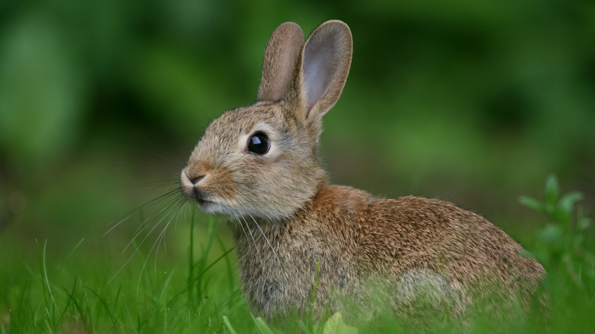 rabbit wallpapers high quality download free