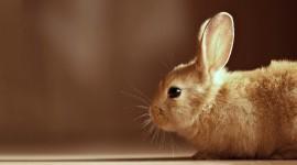 Rabbit 4K