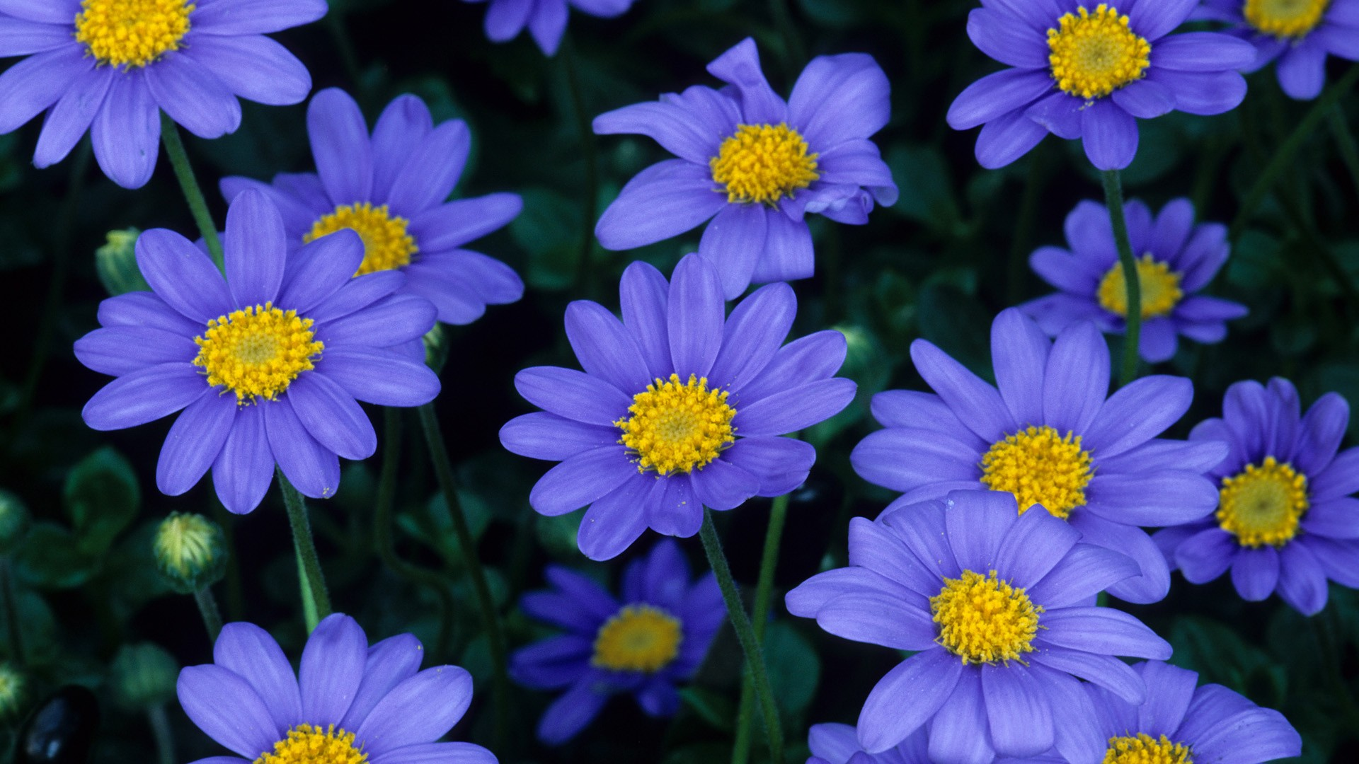 Blue Flowers Wallpapers High Quality Free
