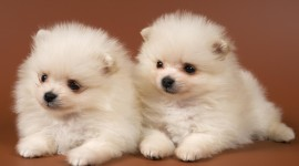 Puppies Download for desktop