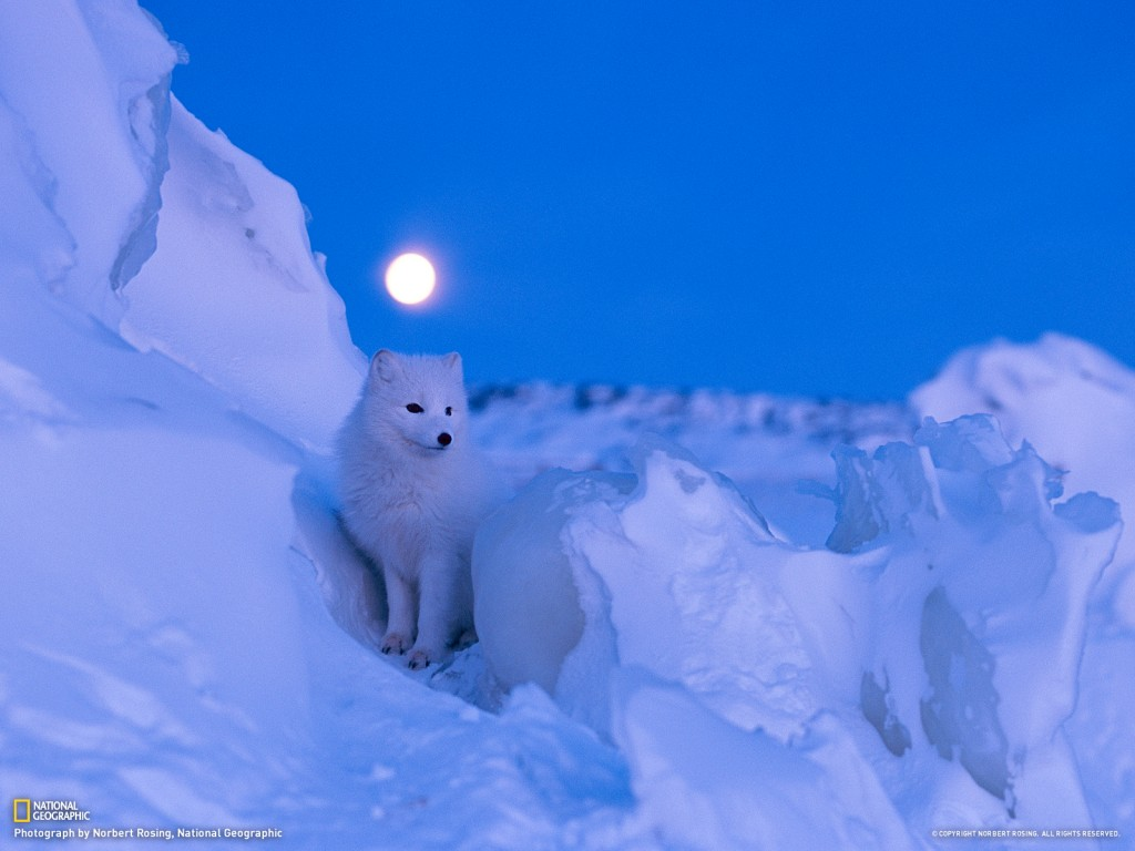 Arctic Fox wallpapers HD