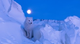 Arctic Fox High quality wallpapers