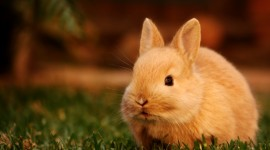 Bunny For desktop