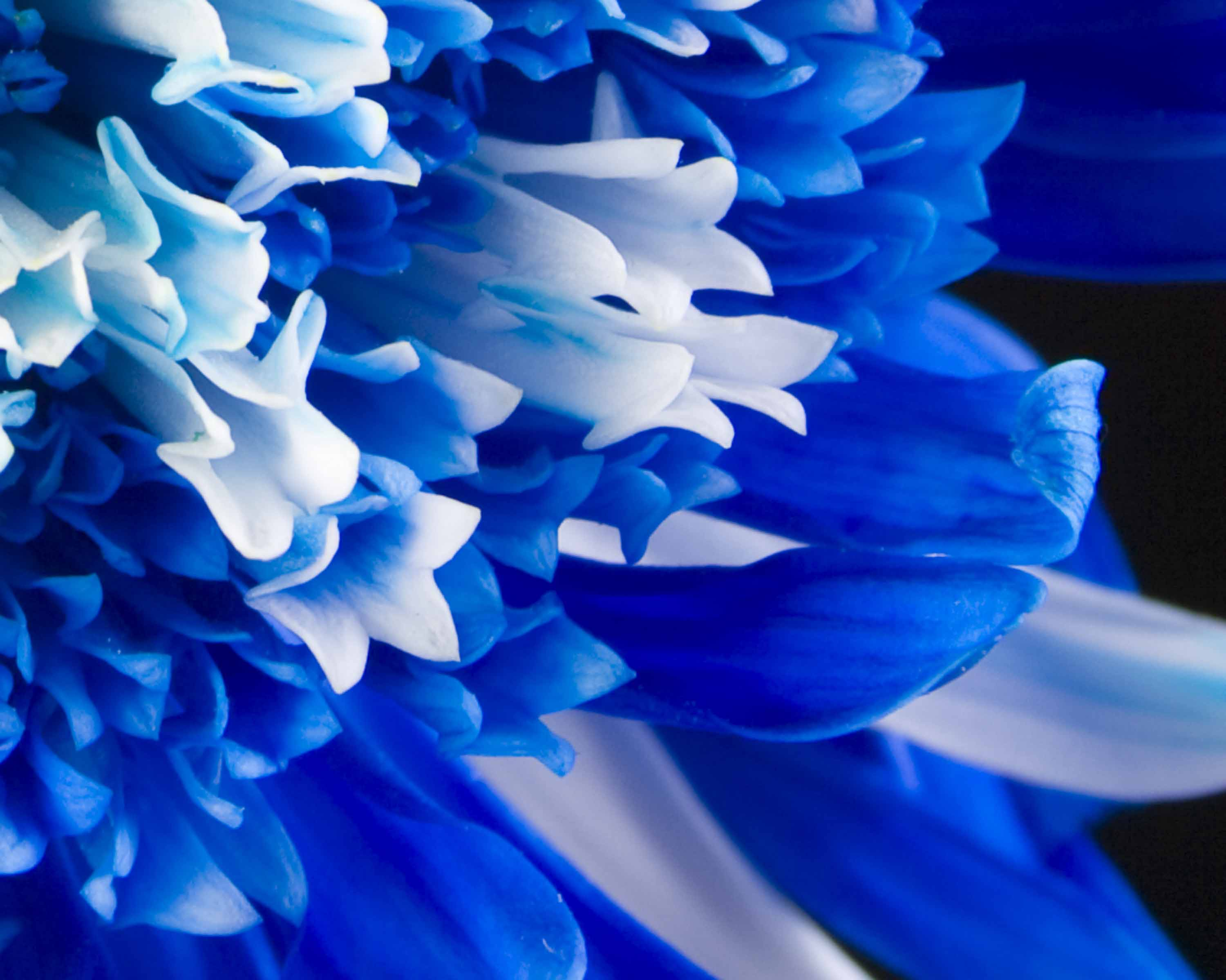 Blue Flowers Wallpapers High Quality Download Free