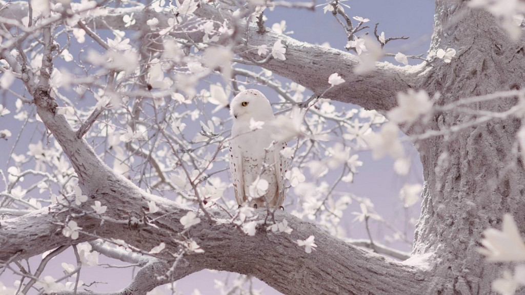 White Owl wallpapers HD