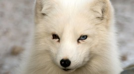 Arctic Fox Widescreen