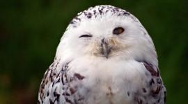 White Owl Widescreen