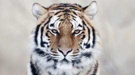 Tiger Wide wallpaper
