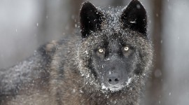 Black Wolf High quality wallpapers