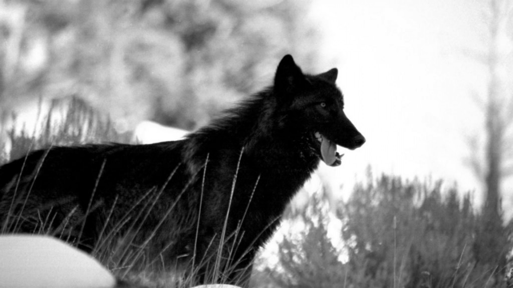 Black wolf wallpapers high quality download free black wolf wallpapers hd voltagebd Gallery