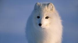 Arctic Fox Pics