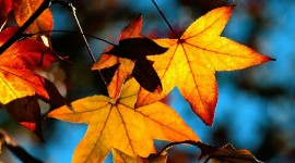 Autumn Leaves Full HD