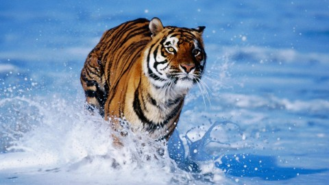 Tiger wallpapers high quality