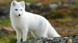 Arctic Fox for smartphone